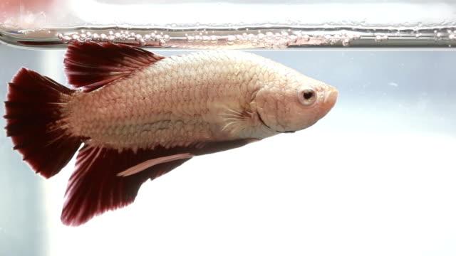colorful betta fish swim in water ,siamese fighting fish - aquatic organism stock videos & royalty-free footage