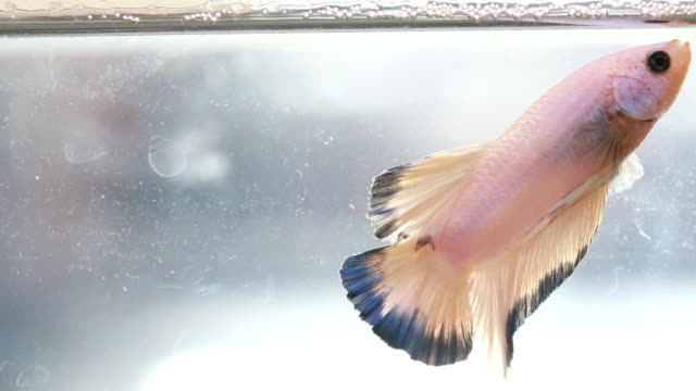 colorful betta fish swim in water ,siamese fighting fish - siamese fighting fish stock videos and b-roll footage
