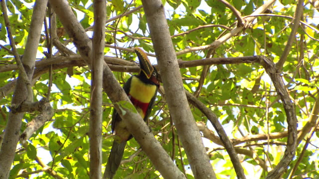 A colorful bird perches in a leafy tree and looks around.