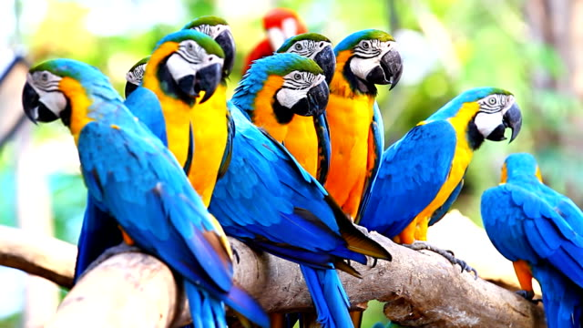 stockvideo's en b-roll-footage met colorful blue and gold macaws - dierentuin