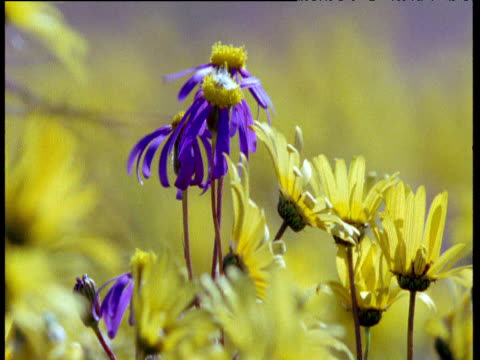 Colorful cape daisy flowers in Karoo desert