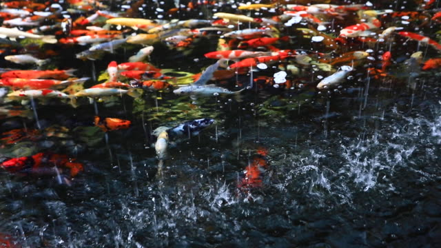 colorful carp swimming in traditional japanese koi pond kyoto japan - lypsekyo16 stock videos and b-roll footage