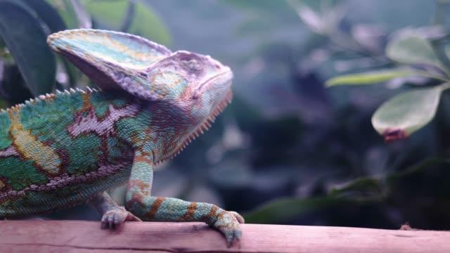 colorful chameleon in a tank - rettile video stock e b–roll