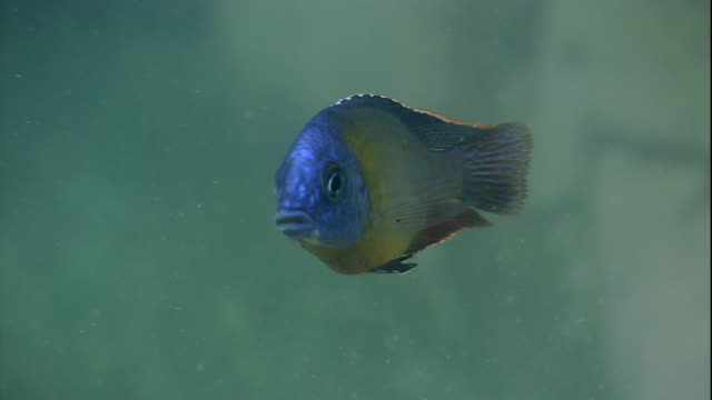 a colorful cichlid swims over lake bed. available in hd. - lake bed stock videos & royalty-free footage