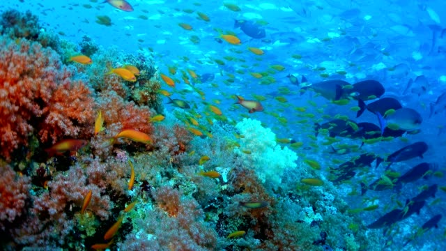 Colorful coral reef with fish School, Maldives