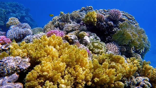 Colorful coral reef with lot of tropical Fish on Red Sea nearby Marsa Alam
