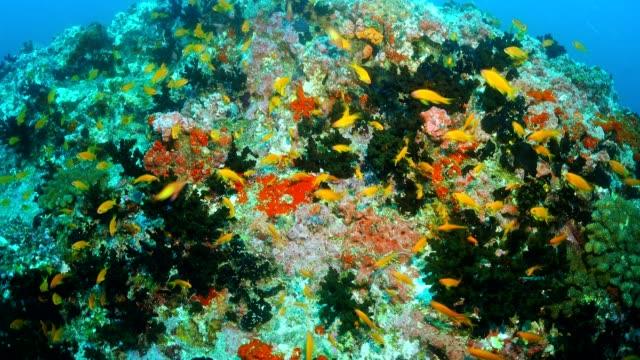 Colorful coral reef with lyretail coralfish or goldfish (Pseudanthias squamipinnis), Maldives
