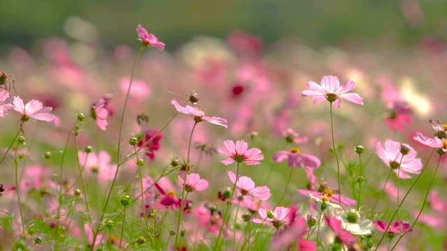 vidéos et rushes de mouvement de fleur cosmos coloré dans le vent - fond rose