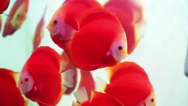 カラフルな円盤魚が水族館で泳ぎます。 - エンゼルフィッシュ点の映像素材/bロール