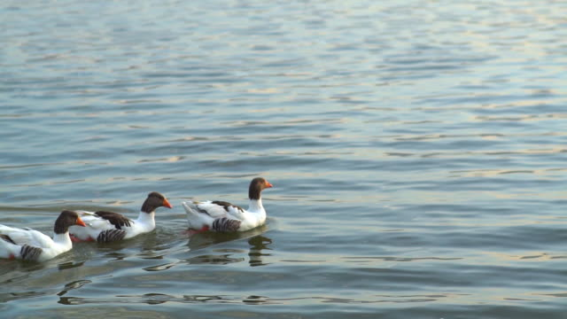 colorful ducks swimming in the lake - mute swan stock videos & royalty-free footage