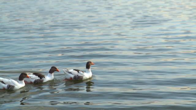 vídeos y material grabado en eventos de stock de patos coloridos nadando en el lago - cisne blanco común