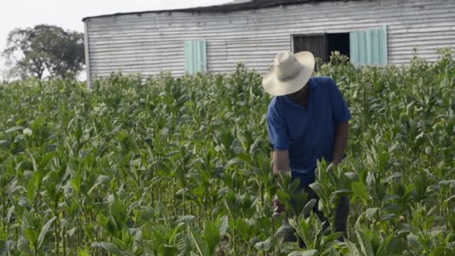 colorful farmer harvesting tobacco fields in cuba in the las barrigonas region of pinar del rio hanging crop - tabakwaren stock-videos und b-roll-filmmaterial