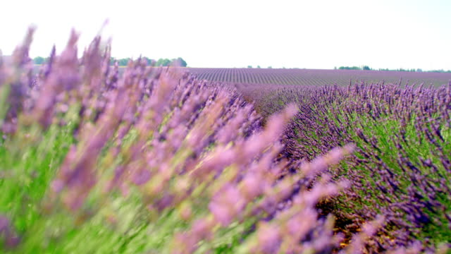 ms colorful field of lavender plants - provence alpes cote d'azur stock videos & royalty-free footage