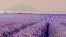 DS Colorful field of lavender plants
