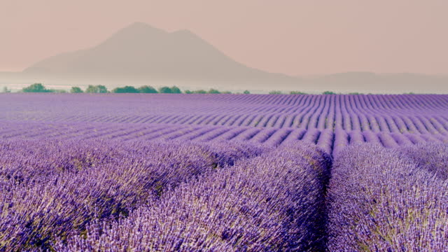 vídeos de stock e filmes b-roll de ds colorful field of lavender plants - dolly shot
