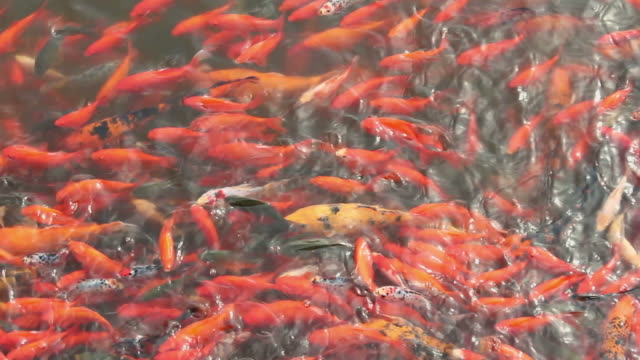 vídeos de stock, filmes e b-roll de ms colorful fish in pond/xian,shaanxi,china - organismo aquático
