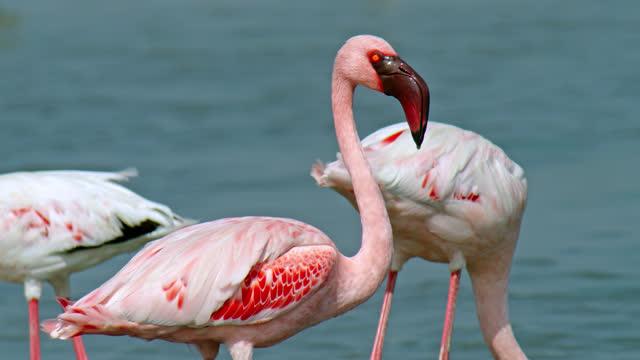 vídeos y material grabado en eventos de stock de a colorful flamingo walking - medium shot - medium group of animals