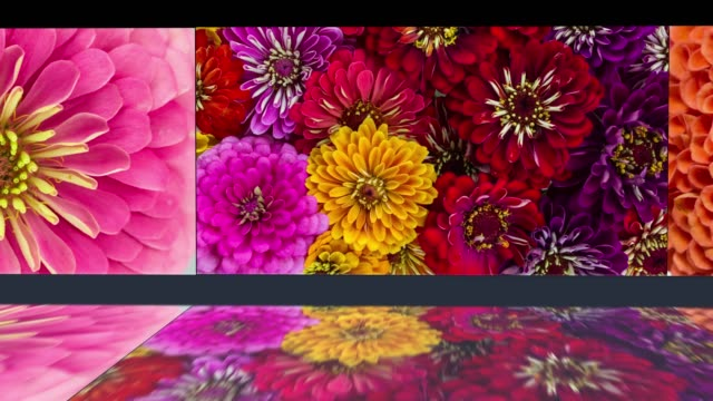 Colorful Flower Background. Zinnia Daisy Blooming with Mirror Water Reflection