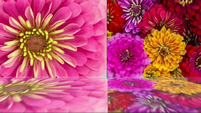 colorful flower background. zinnia daisy blooming with mirror water reflection - mirror object stock videos & royalty-free footage