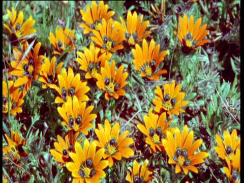 Colorful gazania flowers in Karoo desert