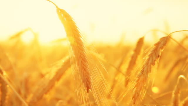 hd dolly: colorful golden wheat - agricultural field stock videos & royalty-free footage