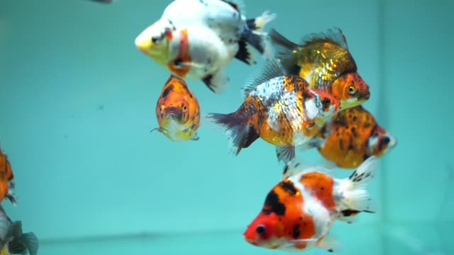 colorful goldfish swimming in the aquarium. - freshwater stock videos & royalty-free footage