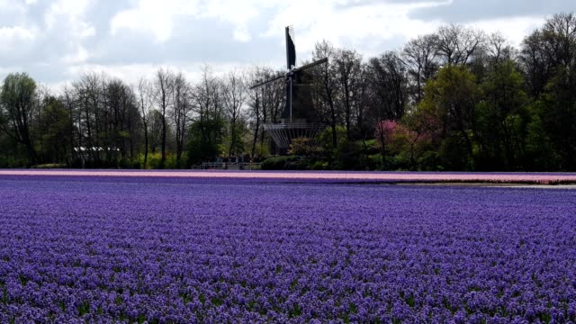 colorful hyacinths flower fields and windmill in springtime, lisse, bollenstreek, south holland, netherlands - mill stock videos & royalty-free footage