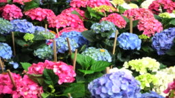 colorful hydrangea flowers blooming in the garden