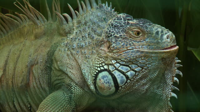 colorful iguana head - 草食性点の映像素材/bロール