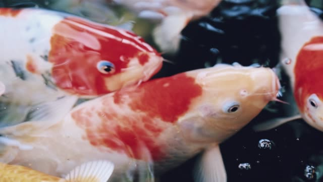 colorful koi fish are swimming in a pond with clear water. the concept of raising fish in the house to relax. - koi carp stock videos & royalty-free footage