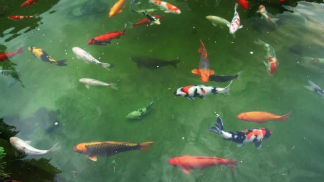 colorful koi fishes swimming in the lake - aquatic organism stock videos & royalty-free footage