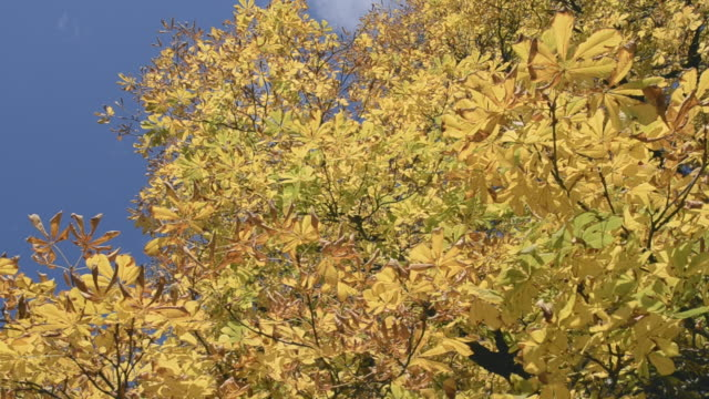 colorful leaves on chestnut tree - ast pflanzenbestandteil stock-videos und b-roll-filmmaterial