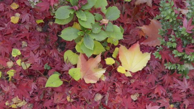 vídeos de stock, filmes e b-roll de pan colorful leaves - trepadeira