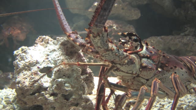 colorful lobster 3 - hd 30f - lobster stock videos & royalty-free footage