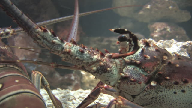 colorful lobster 4 - hd 30f - lobster stock videos & royalty-free footage