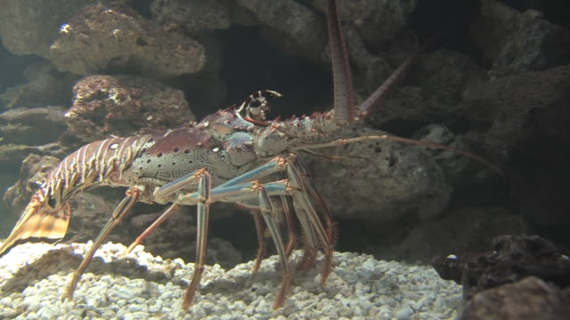 colorful lobster 7 - hd 30f - lobster stock videos & royalty-free footage