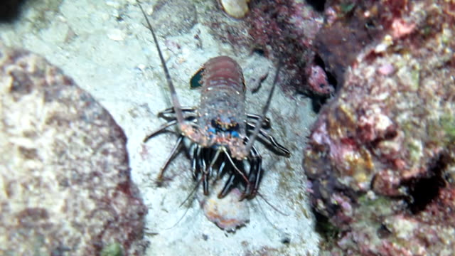 colorful lobster crawling along the sand out in the open at night, cocos island, costa rica. - lobster stock videos and b-roll footage