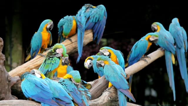 colorful macaws sitting in a tree - macaw stock videos & royalty-free footage