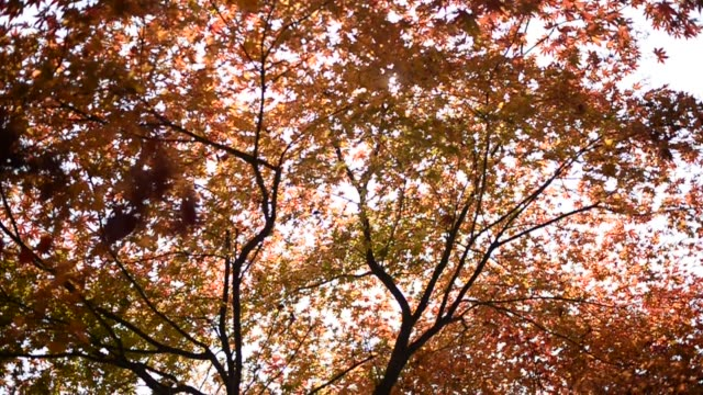 colorful maple leaves during autumn at famous nami island - 色が変わる点の映像素材/bロール