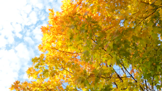 colorful maple tree in autumn - maple stock videos & royalty-free footage