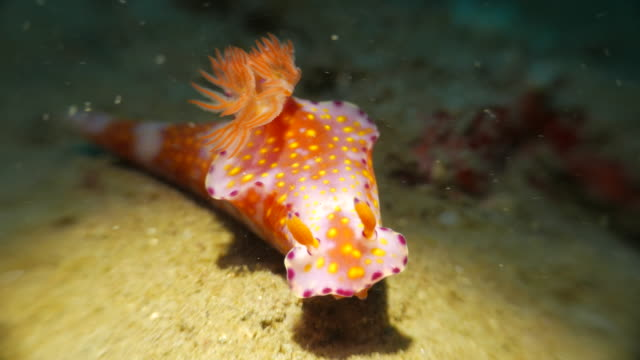 colorful nudibranch like candy - nudibranch stock videos & royalty-free footage