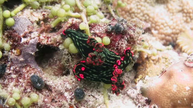 colorful nudibranchs mating - nudibranch stock videos & royalty-free footage