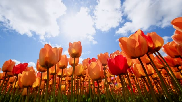colorful orange tulips with blue sky and sun, noordwijkerhout, bollenstreek, south holland, netherlands - tulpe stock-videos und b-roll-filmmaterial