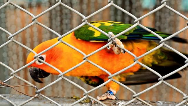 vídeos de stock, filmes e b-roll de papagaio colorido no the cage - bichos mimados