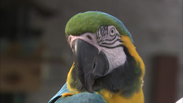 a colorful parrot turns its head. - macaw stock videos & royalty-free footage