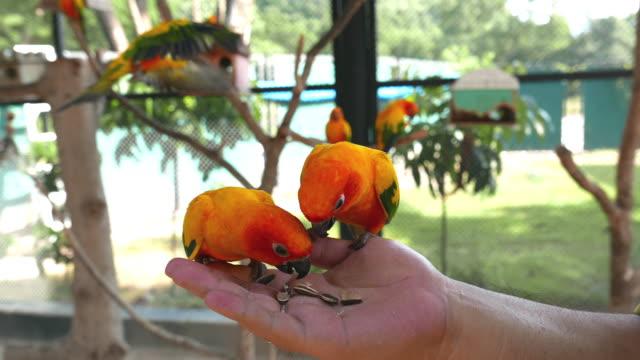 bunte papageien vögel essen aus der hand - füttern stock-videos und b-roll-filmmaterial