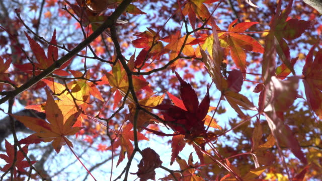 colorful red maple leaves branch tree in Korankei, Aichi, Japan.