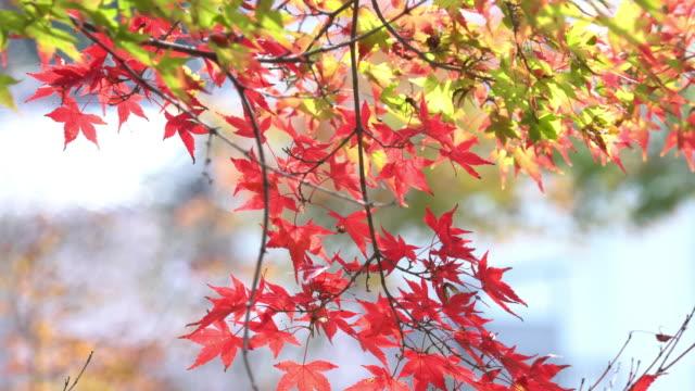 カラフルな赤いカエデの葉こうらんけい、愛知県で分岐ツリーが。
