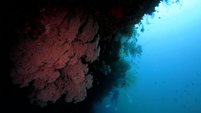 colorful red soft coral in reef of raja ampat - soft coral stock videos & royalty-free footage