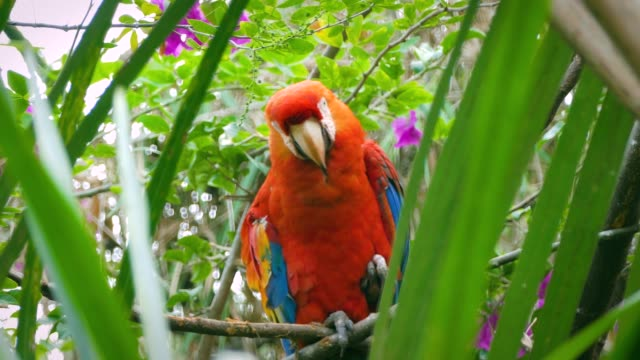 colorful scarlet macaw standing on tree in a tropical natural resort. tropical birds in the amazon jungle. - macao stock videos & royalty-free footage
